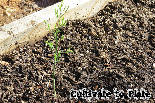 Asparagus | Cultivate to Plate