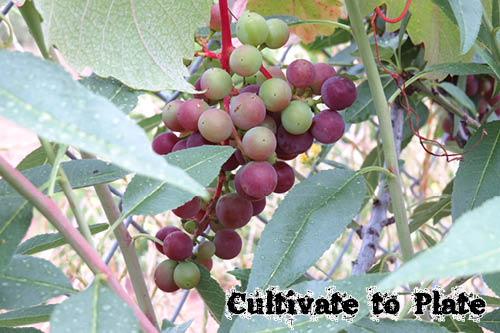 Grapes | Cultivate to Plate